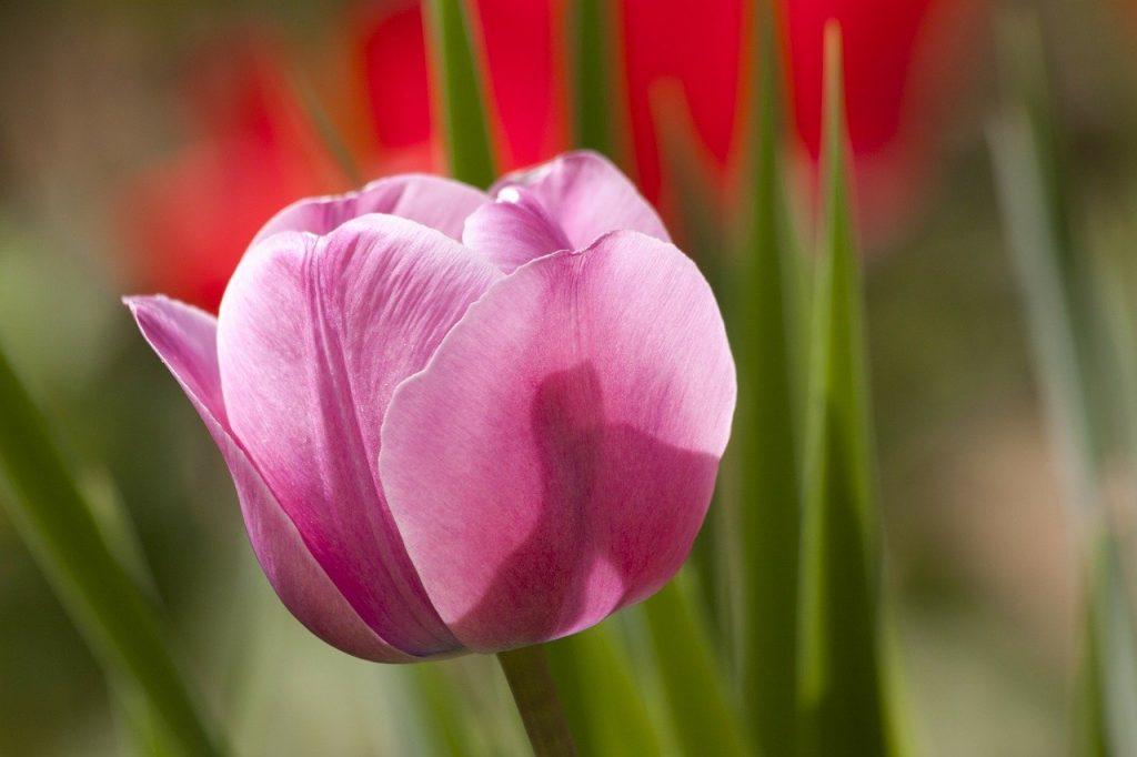 tulip, lily, spring
